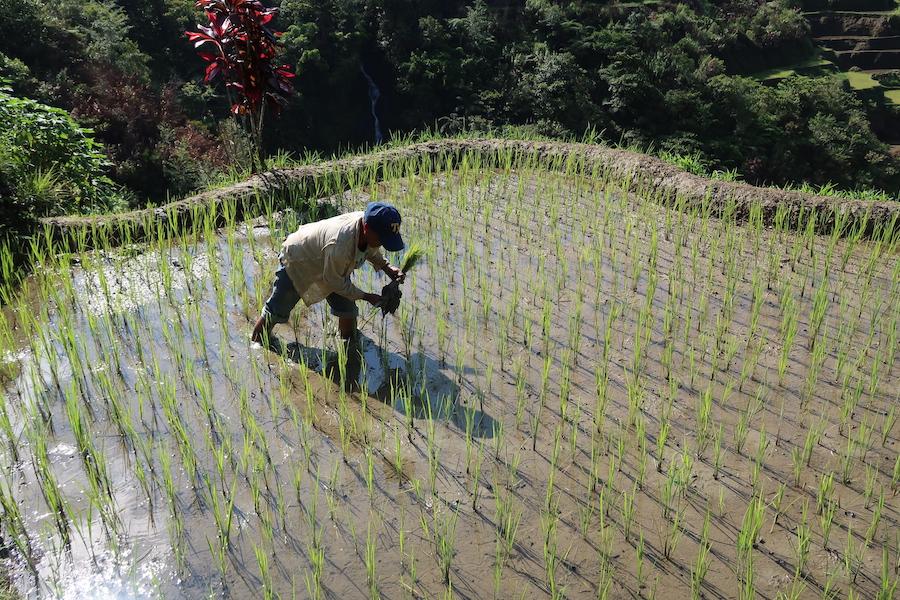 棚田で田植えをする男性